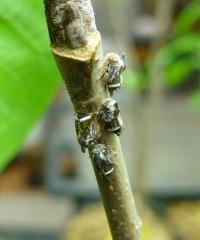 Enchenopa binotata